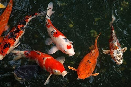 mệnh thổ nuôi cá gì